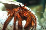 hermit crab coenabita clypeatus poster