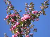 flowering crabapple blossoms poster
