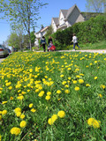 dandelions in lawn, pesticide ban poster