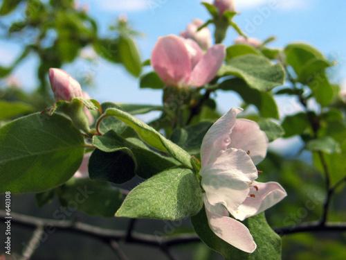 fleur d 39 glantier de skimage photo libre de droits 640308 sur. Black Bedroom Furniture Sets. Home Design Ideas