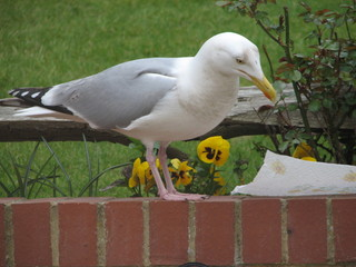 inquisitive seagull