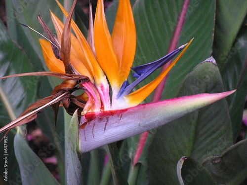 bird of paradise flower closeup