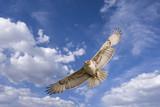 hawk flight poster