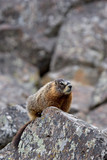 yellow-bellied marmot in yellowstone poster
