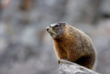 yellow bellied marmot in yellowstone poster