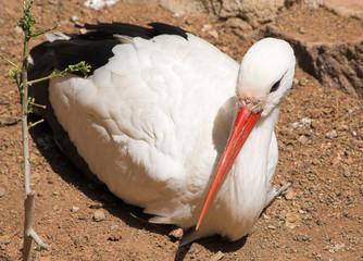 sitting white stork