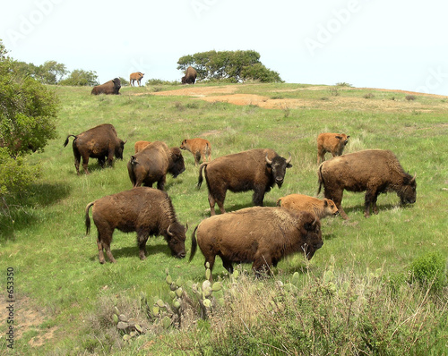 bison herd at catalina island, ca