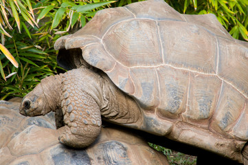 male aldabra tortoise