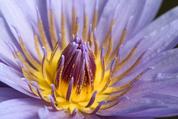 close -up of a stunning water lily