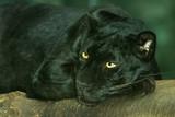 black leopard resting poster