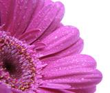 Fototapete Blume - Regen - Blume