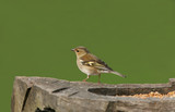 female chaffinch poster