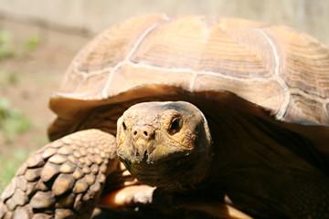 large rock tortoise