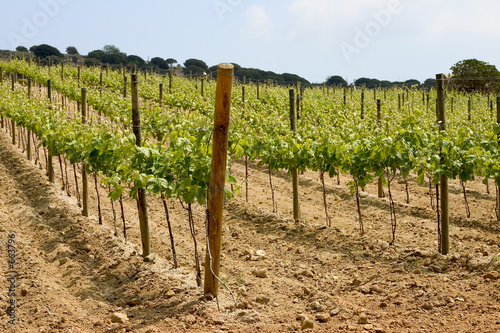 vineyard in catalonia, spain