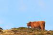 Постер, плакат: dexter cow