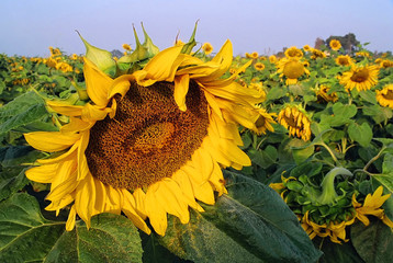 close up of sunflower in field