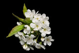 sprig of pear blossom poster
