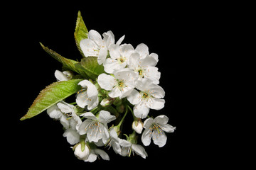 sprig of pear blossom