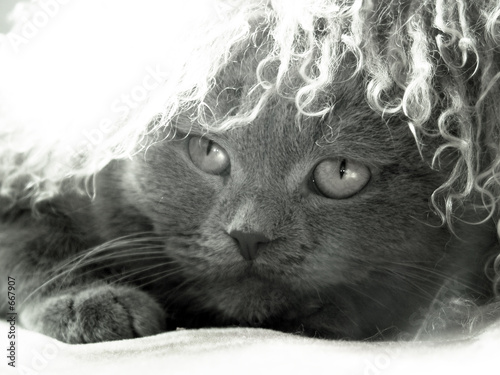 scottish fold in the furry cap