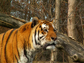 tiger looking