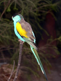 golden shouldered parrot poster