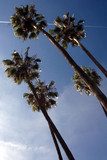palms and bluw sky poster