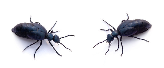 two blue beetles