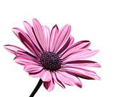 Fototapete Freigestellt - Objekt - Blume