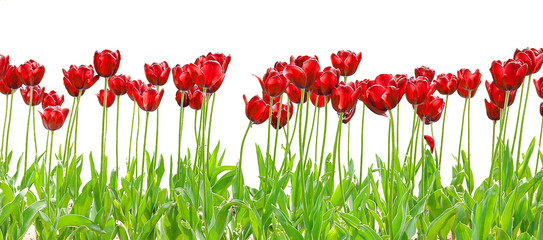 tulipe royale red