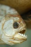 dried dead piranha fish teeth poster