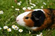 cavy in a spring field
