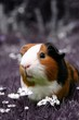 guinea pig in a pink field