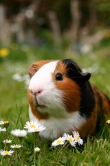 guinea pig with flowers