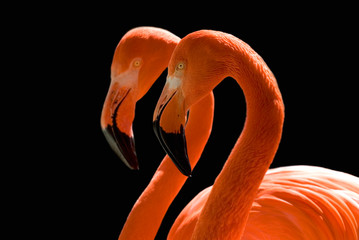 dancing flamingos on black