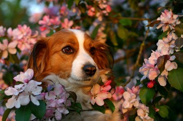 dog in the blossoms