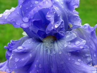 wet bearded iris 01