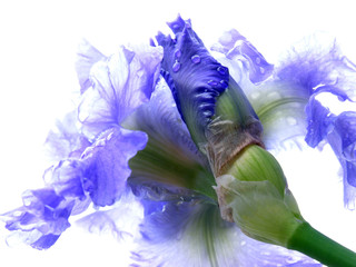 wet bearded iris