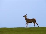wild deer nature poster
