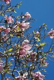 magnolia - blooming tree poster