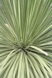 rauhschopf, succulente