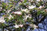 blooming apple-tree poster