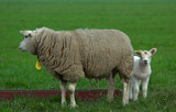 mother and her baby sheep poster