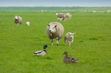 ducks and sheep poster