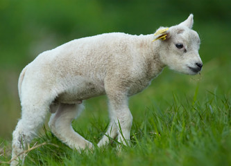 cute lamb  in the field