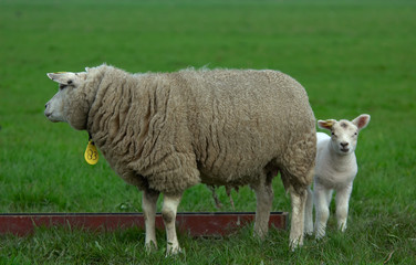 mother and her baby sheep