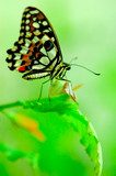 butterfly on a bright green leaf poster