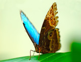 turquoise butterfly poster