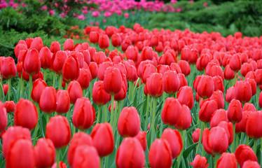 wet tulips, ottawa tulip festival