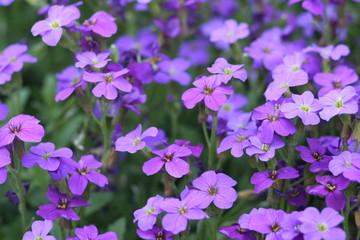 violet field #2