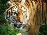 Fototapeta zwierzę - zwierzę - Dziki Ssak